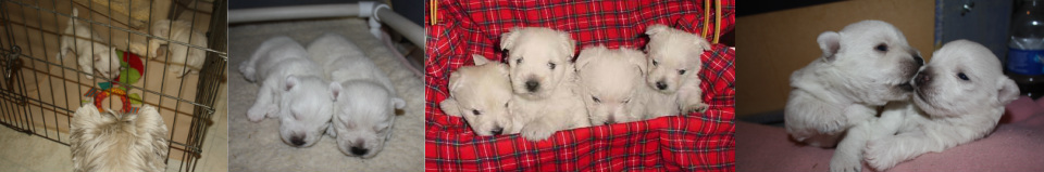 West Highland White Terrier Club of California - Home